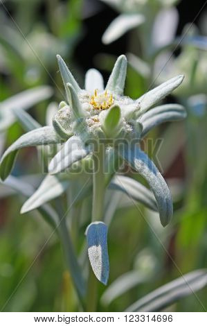 Edelweiss Alpine leontopodium (Leontopodium) - genus of dicotyledonous herbaceous plants of the family Asteraceae (Asteraceae) or Compositae (Compositae)