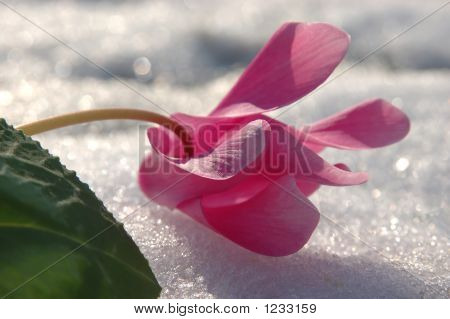 Flower On A Snowfield