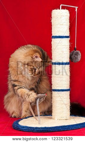 Siberian cat playing with scratching post over red background