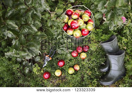 Gardener tools set  on green garden grass. Apple harvest, garden pruner, rubber boots in organic apple orchard.  Gardener tools and ripe apples top view.