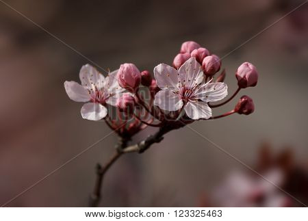 Closeup of a beautiful Plum blossom umbel