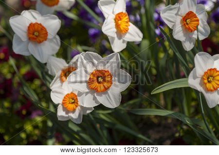 narcissus verger daffodil white flower perianth with yellow orange cup in bright sunlight shallow depth of field selective focus on on flower