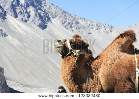 Big Camel at Nubra valley in North India