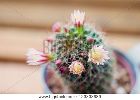 Close up of Mammillaria capensis cactus flowers with soft filter applied