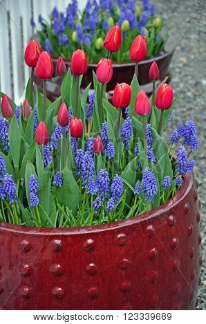 Red spring tulips and bluebell flowers in flowerpot