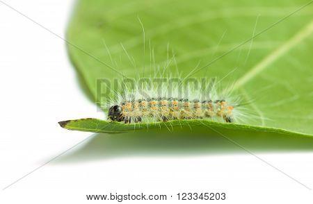 Macro Of Vermin Shaggy Caterpillar On Leaf
