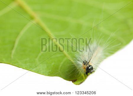 Vermin Shaggy Caterpillar En Face On Leaf Edge