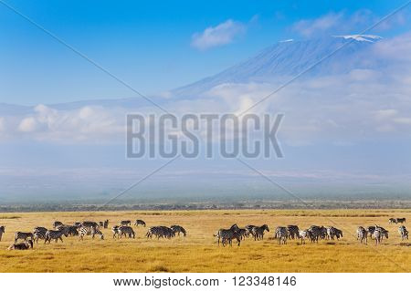 Big herd of zebras standing at the prairie of Amboseli National Park in front of the great mountain Kilimanjaro