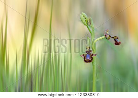 ophrys speculum. Wild Orchid isolated in the field