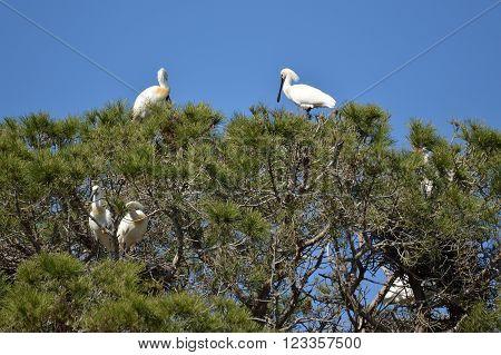 spatulas in aviaries Pines nature park doñana