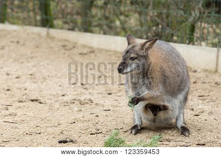 grazing Red-necked Wallaby kangaroo (Macropus rufogriseus) with hidden baby in bag