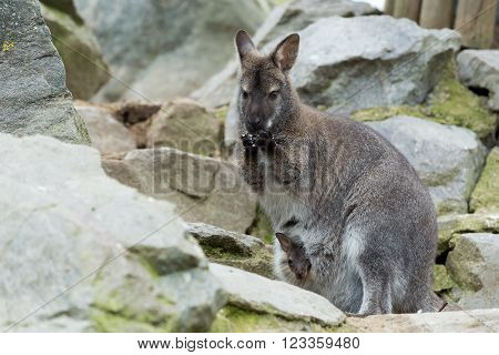 Red-necked Wallaby kangaroo (Macropus rufogriseus) Female with hidden baby in bag on rock