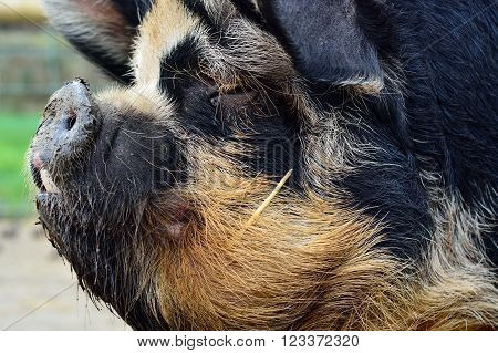 Kunekune pig head shot. An unusual rare breed of small pig showing detail of head in profile, on a farm in Somerset, UK
