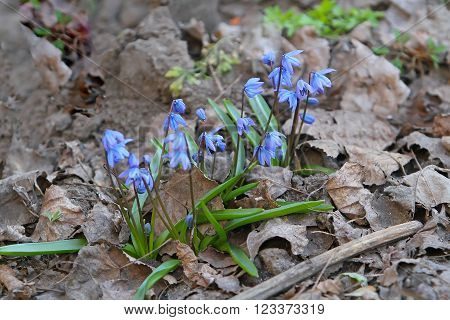 The First Spring Blue Flowers Broke Through Last Year's Leaves.scilla Bifolia In Latin Scílla Bifoli