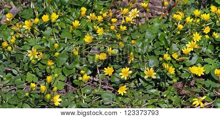 Early Spring Yellow Flowers Look Shiny, As If Varnished. Buttercup, Spring On Ficaria Verna Latin He