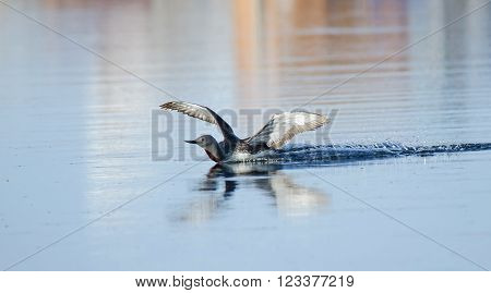 Red Throated Loon lands on a lake