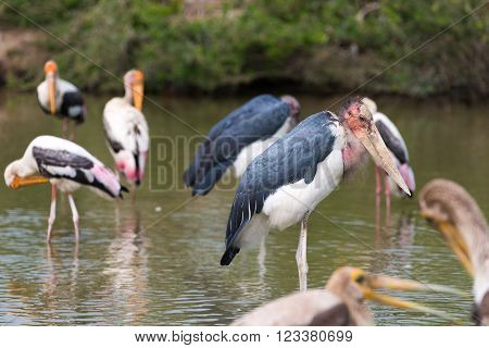Africa Marabou storks, Animals and environment concept.