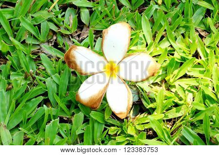 champa flower lying on the greensward background.