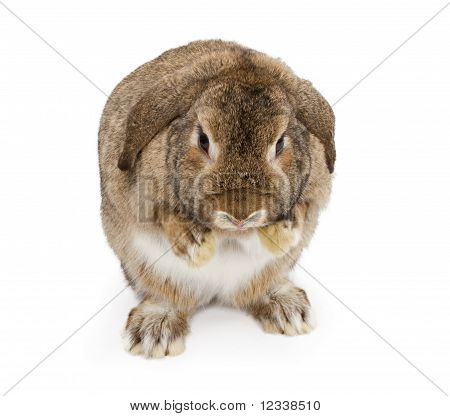 A young brown lop-earred rabbit with paws extended out. Isolated on white poster