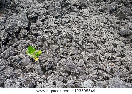 Lone seedling surviving amongst the desolation of volcanic ash