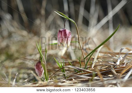 Wild flower chess flower frog-cup. Fritillaria meleagris