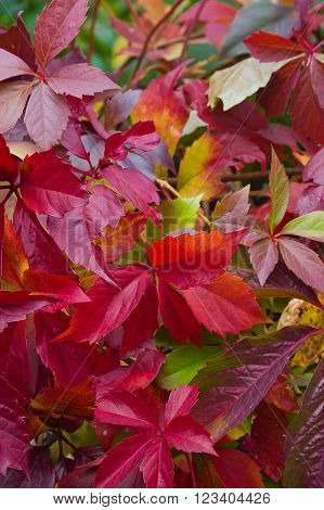 Bright Autumn Foliage Of Vine