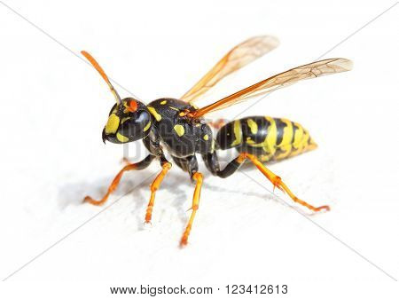 Yellow Jacket Wasp on white background. Close up with shallow DOF.