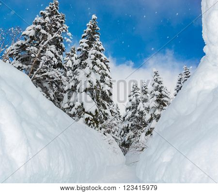 Beautiful snow wall and walkway with snow covered trees wonderful winter. poster