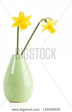Two daffodil flowers in small vase isolated on white background
