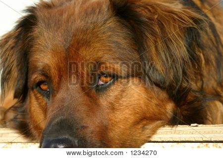 Bored Dog On Porch