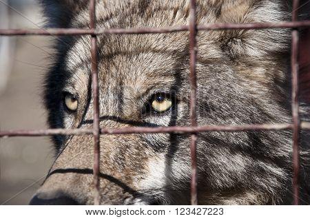 Grey Wolf Behind Wire Netting