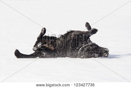 Black Labrador Retriever Rubbing Back Against Snow
