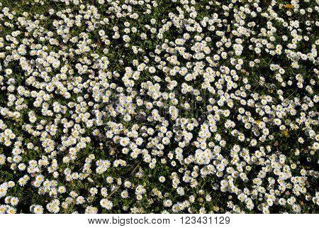 Ox eye daisies growing in meadow grass UK.
