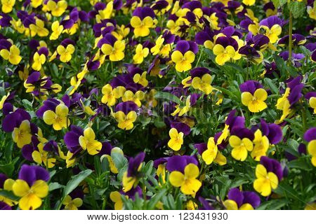 Two-colored pansies blooming in the arboretum with boasts of its beauty.
