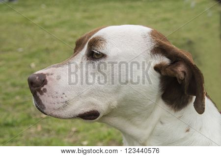 A Pit Bull mix Breed ready for adoption at a Humane Society Event in New BernNorth Carolina ** Note: Visible grain at 100%, best at smaller sizes