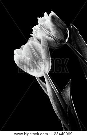 Pink And Red Tulips On Black Background