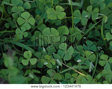 'Lucky' four leaved clover growing wild in Argenina