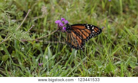 The monarch butterfly (Danaus plexippus) perched on a pink fower