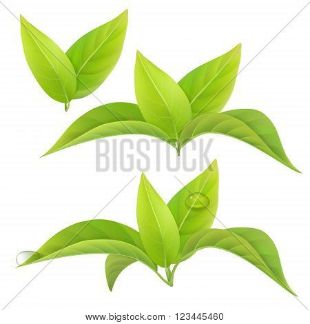 Set of green tea leaves isolated on a white background with drops of dew. Vector floral elements.