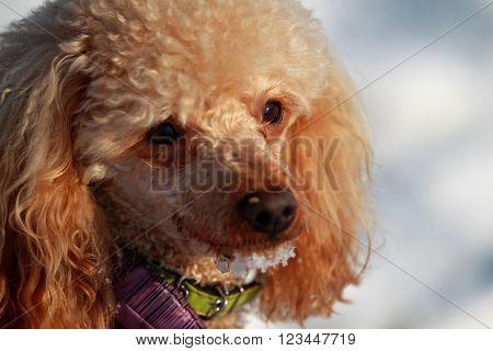 Close portrait of a red poodle winter