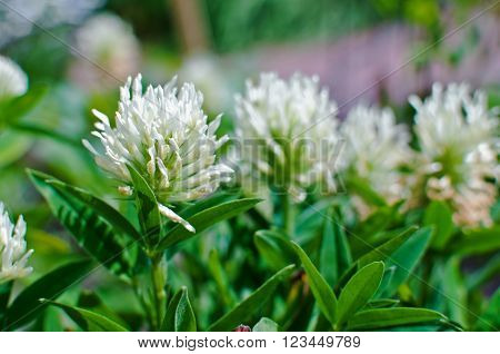White clover on meadow. Trifolium repens. Trifolium ochroleucon