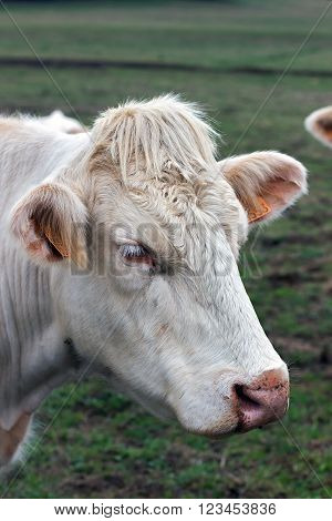 Closeup image Brahman heifer, beige cow with identification ear tags