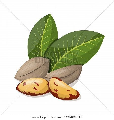 Brazil nuts with leafs isolated on white. Vector illustration.