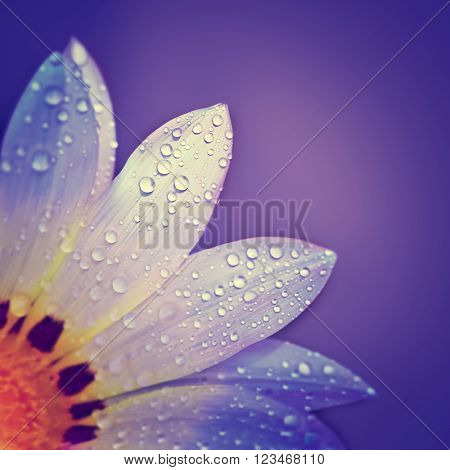 Beautiful floral border, gentle white chamomile flower with dew drops on petals on purple background, greeting card for mothers day