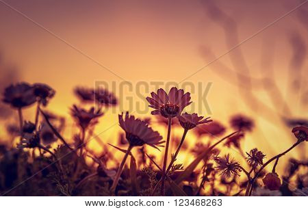 Beautiful daisy field on sunset light, silhouette of little gentle white flowers on orange evening sky background, beauty of wild nature