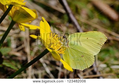 Brimstone butterfly (Gonepteryx rhamni powedery) is sitting on a marsh marigold flower, Puumala, Finland