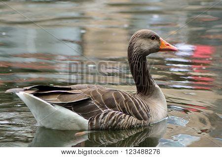 Greylag goose (Anser anser) swimming. Goose in the family Anatidae, on water