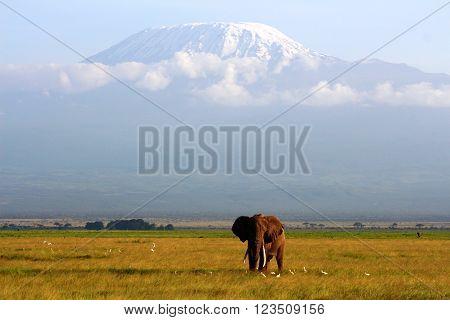 Beautiful african elephant at the highest peak of Africa Kilimanjaro.