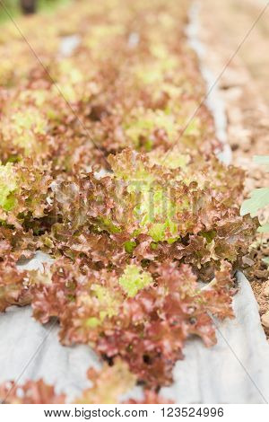 Red coral salad plant in organic farm, stock photo