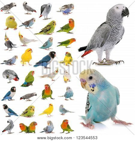 group of parakeets and parrots in studio